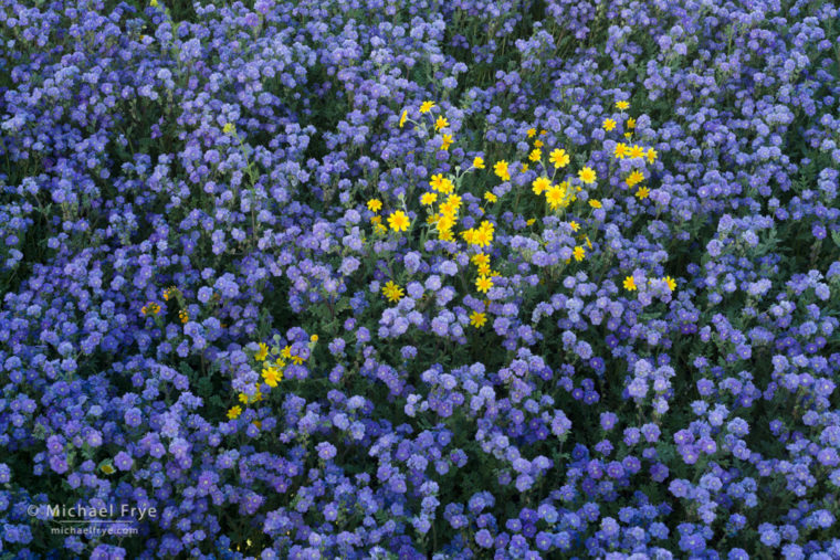 Hillside daisies among tansy phacelia, Carrizo Plain NM, CA, USA