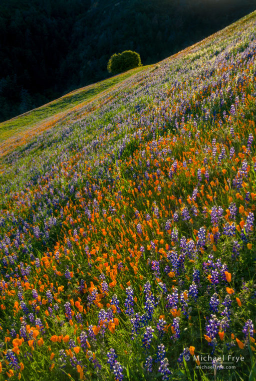 Poppies, lupines, and oak, Figueroa Mountain, Los Padres NF, CA, USA