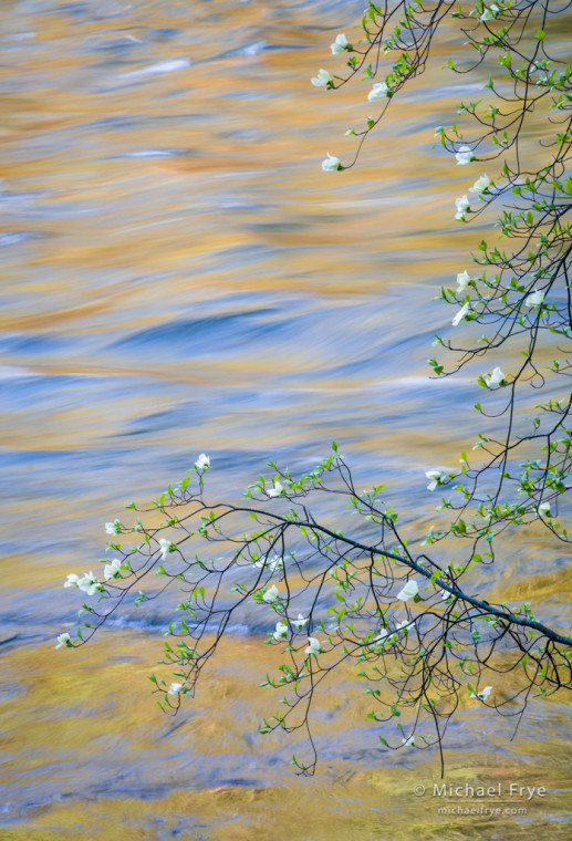 Dogwood and reflections in the Merced River, Yosemite NP, CA, USA
