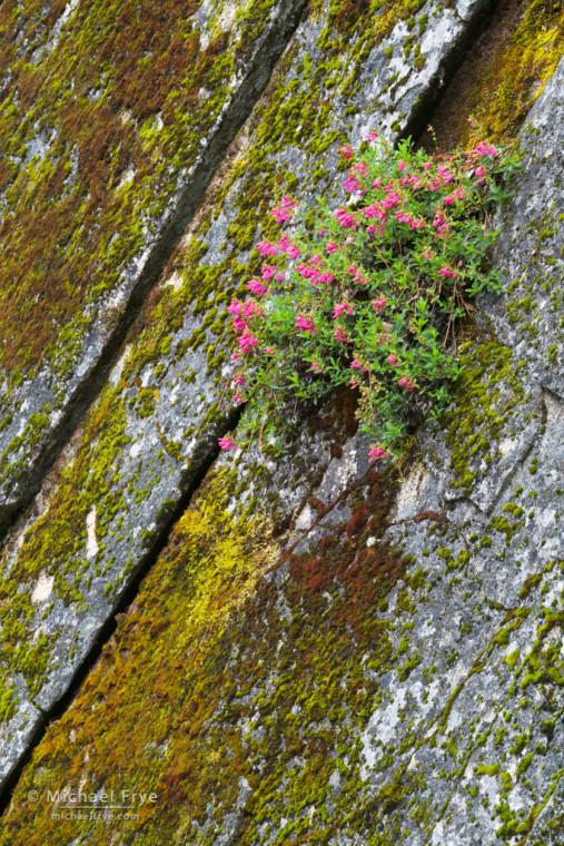 Penstemon growing on moss-covered rocks, Yosemite NP, CA, USA