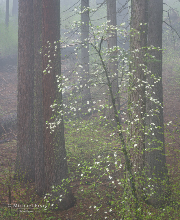 Dogwood and pines in fog, Yosemite NP, CA, USA