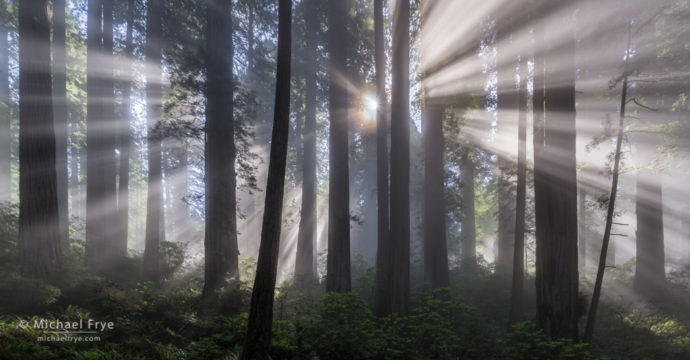 Sunbeams in a redwood forest along the northern California coast, USA