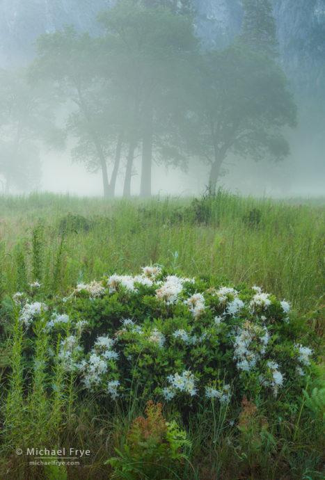 Oaks and azaleas in the fog, Yosemite NP, CA, USA