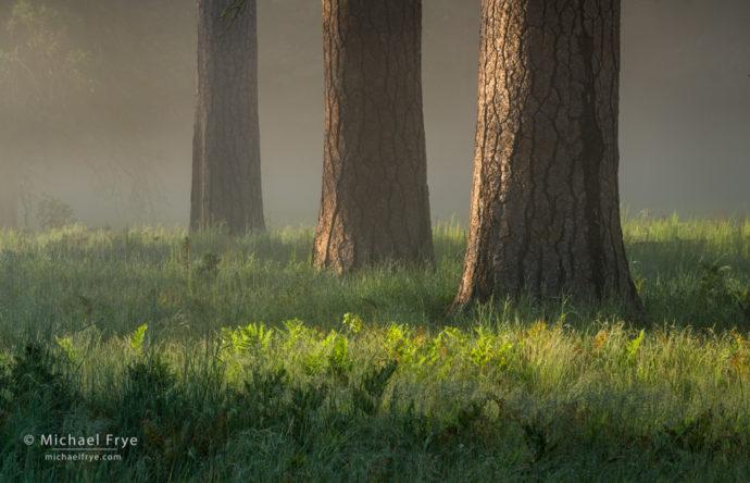 Ponderosa pines in fog, Yosemite NP, CA, USA