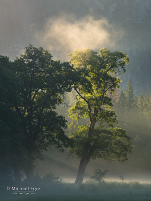 Oaks and mist, Yosemite NP, CA, USA
