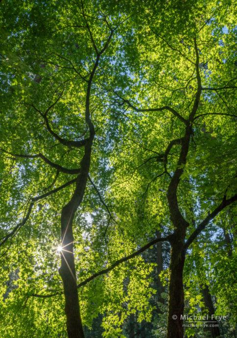 Big-leaf maples in spring, Yosemite NP, CA, USA