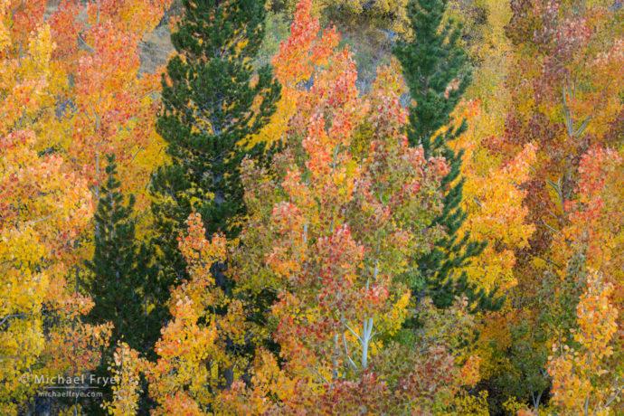 Aspens and pines, Bishop Creek Canyon, Inyo NF, CA, USA