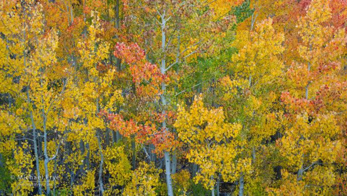 Multi-colored aspens, Inyo NF, CA, USA