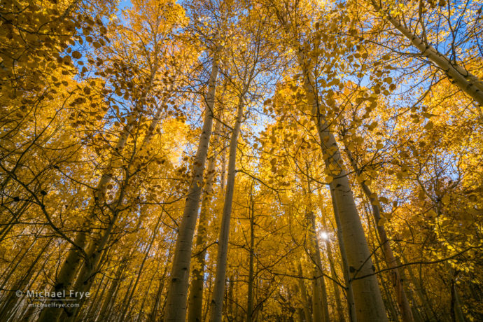 Sunlight in an aspen grove, Inyo NF, CA, USA