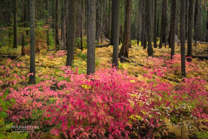 Autumn forest with dogwoods and ferns, Yosemite NP, CA, USA