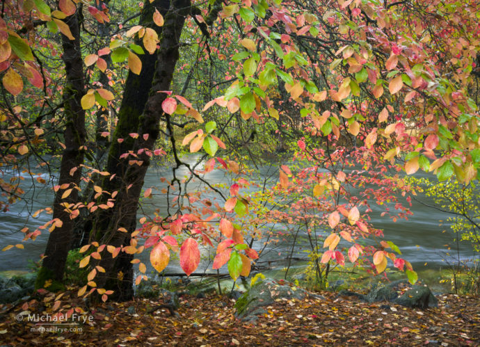 Dogwoods and the Merced River in autumn, Yosemite NP, CA, USA