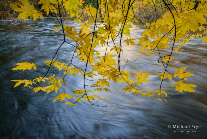Big-leaf maple overhanging the Merced River in autumn, Yosemite NP, CA, USA