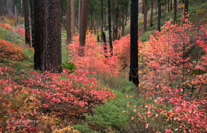 Dogwoods understory in a burned area, autumn, Yosemite NP, CA, USA