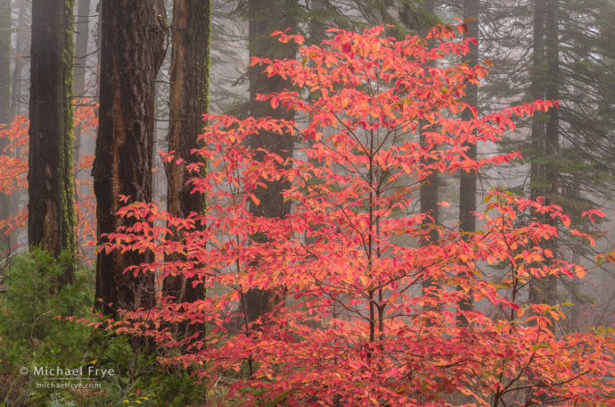 Dogwoods and firs in the fog, autumn, Yosemite NP, CA, USA