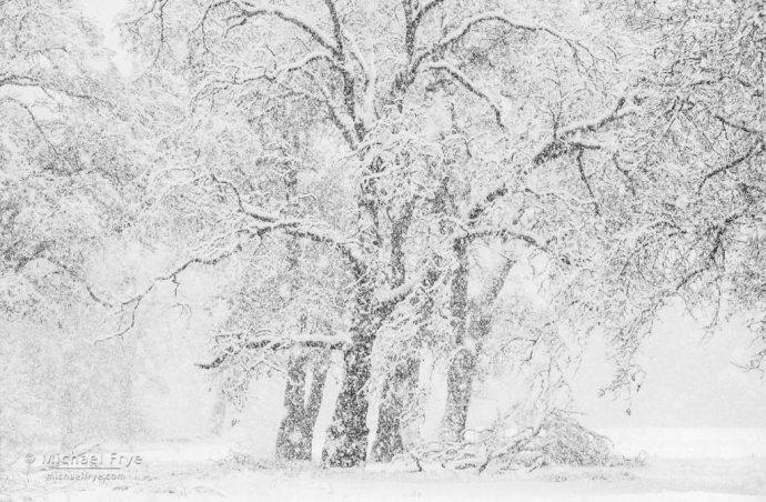 Snowy oaks, Yosemite NP, CA, USA