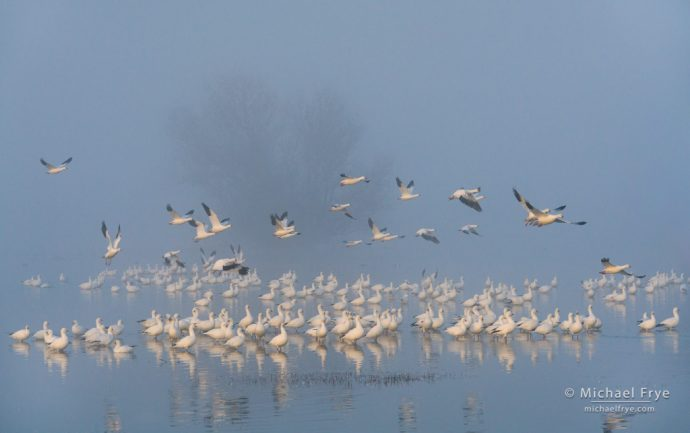 11. Ross's geese in the fog at first light, San Joaquin Valley, CA, USA