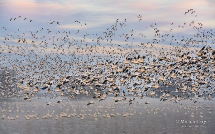 12. Ross's geese lifting off at sunrise, San Joaquin Valley, CA, USA