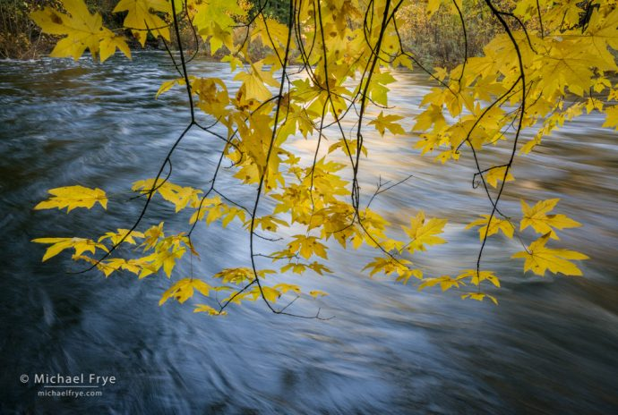 40. Big-leaf maple overhanging the Merced River in autumn, Yosemite NP, CA, USA