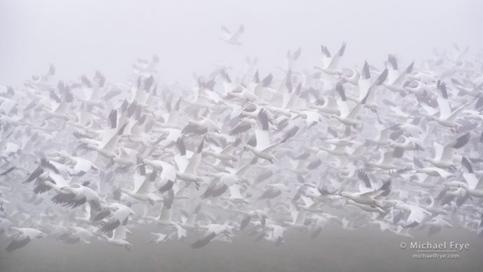 6. Ross's geese taking flight in fog, San Joaquin Valley, CA, USA
