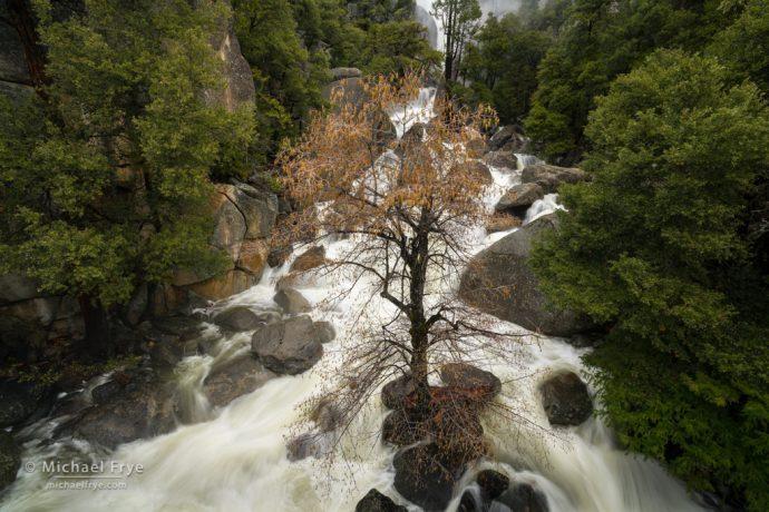 Budding alder in Cascade Creek, Yosemite NP, CA, USA