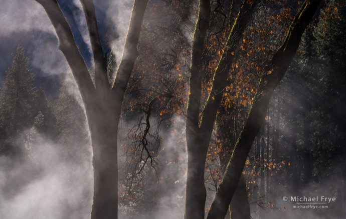 Black oaks and mist, Yosemite NP, CA, USA