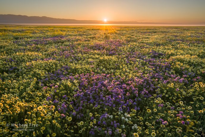 Endless flowers, Carrizo Plain NM, CA, USA