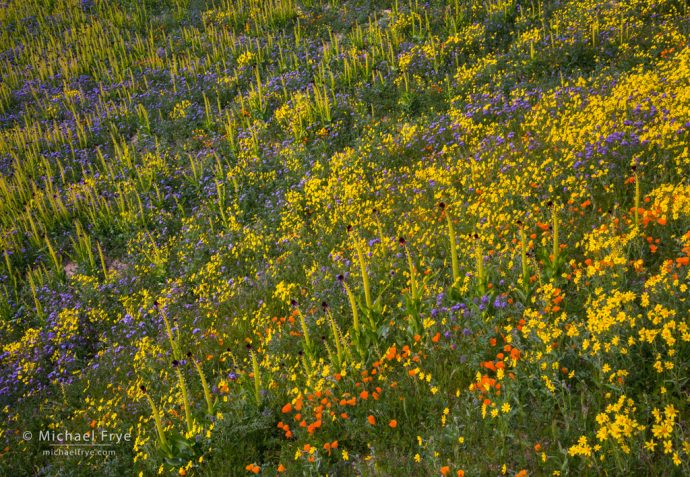 California poppies, desert candles, hillside daisies, and tansy phacelia, Carrizo Plain NM, CA, USA