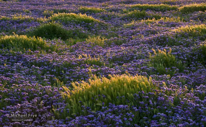 Waves of foxtail grass amid a sea of valley phacelia, Carrizo Plain NM, CA, USA