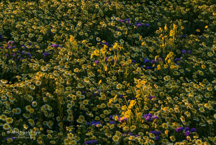 Hillside daisies, tidytips, and valley phacelia in late-afternoon light, Carrizo Plain NM, CA, USA