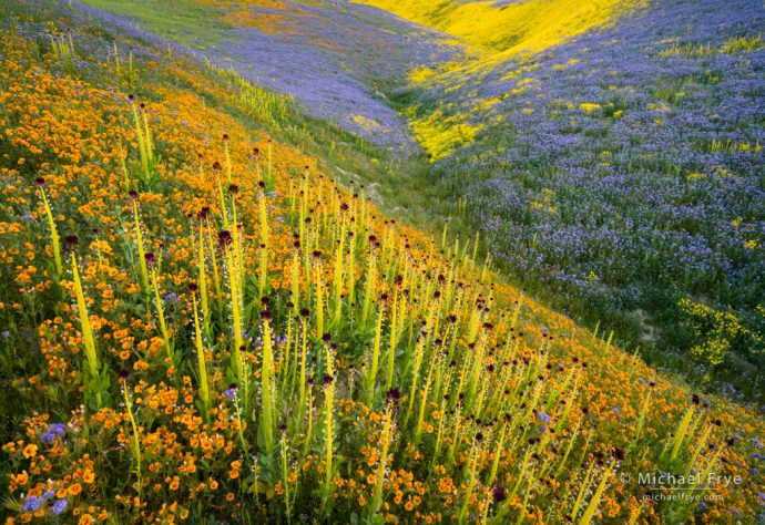 Wildflowers in the Temblor Range, with desert candles, blazing stars, tansy phacelia, and hillside daisies, Carrizo Plain NM, CA, USA