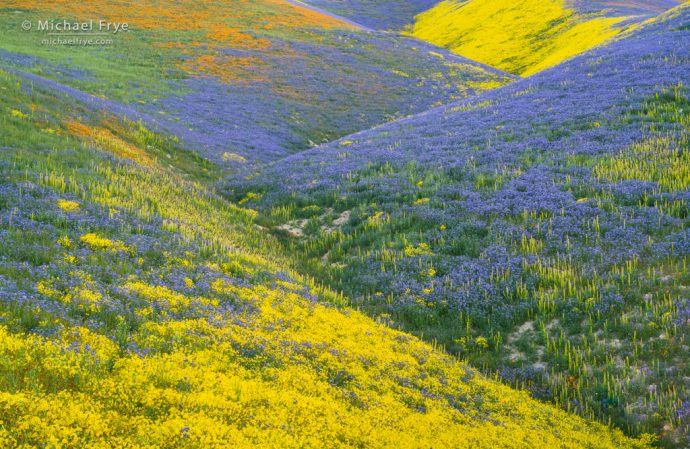 Flower patterns in the Temblor Range, Carrizo Plain NM, CA, USA