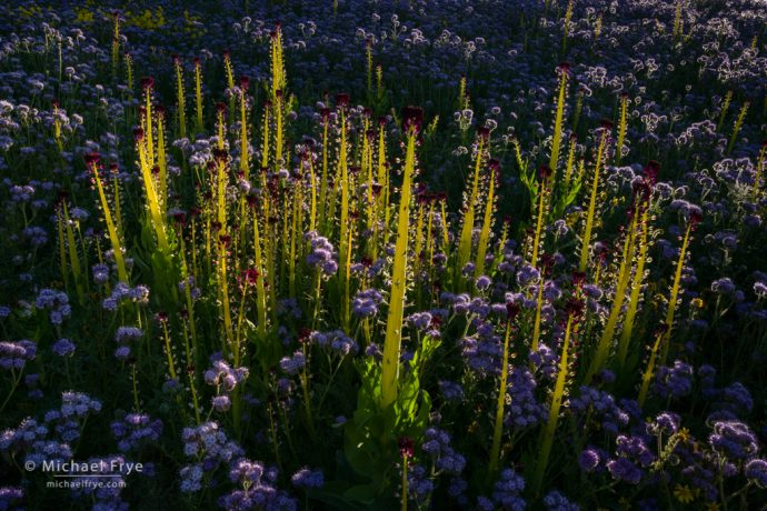 Desert candles surrounded by phacelia, Carrizo Plain NM, CA, USA