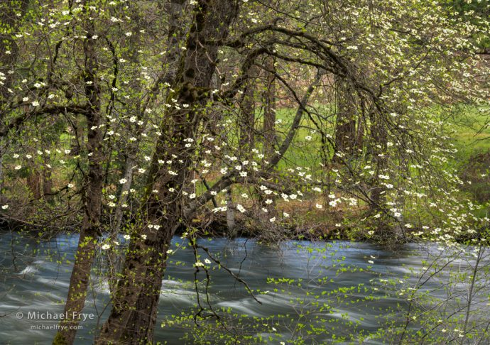Dogwood along the Merced River, Yosemite NP, CA, USA