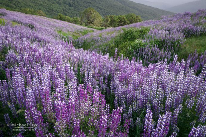 Lupines and hills, Redwood NP, CA, USA