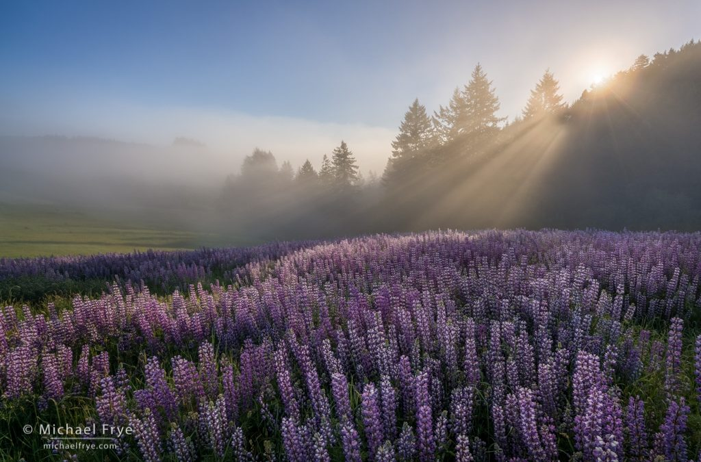 Lupines and Fog