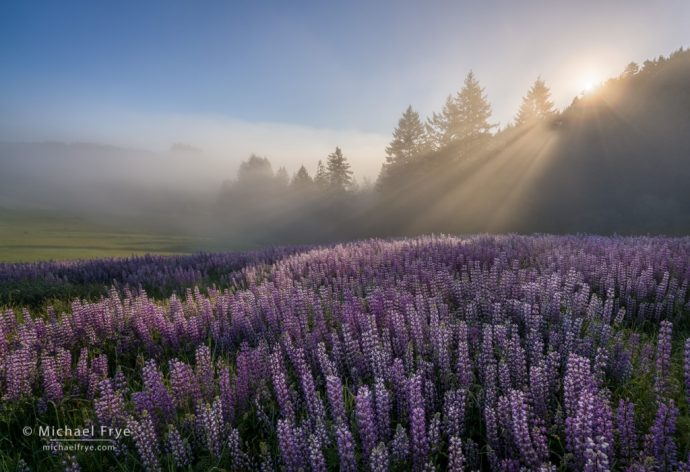 Sun rising over a field of lupines, Redwood NP, CA, USA