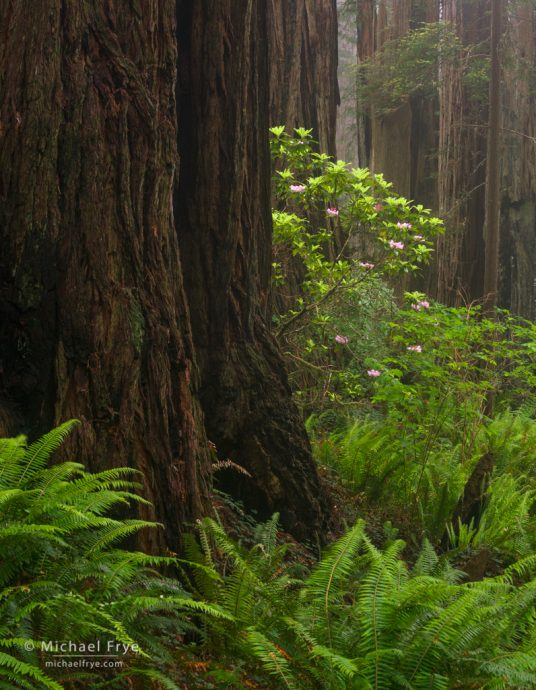Redwoods and rhododendrons, Del Norte Coast Redwoods SP, CA, USA