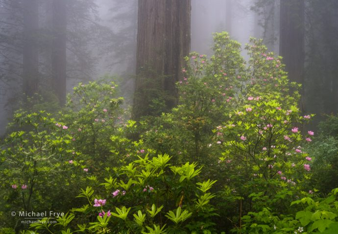 Redwoods and rhododendrons in fog, Del Norte Coast Redwoods SP, CA, USA
