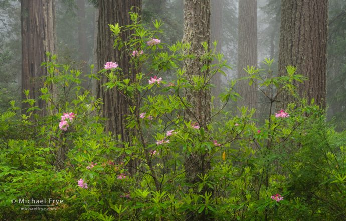 Redwoods, douglas firs, and rhododendrons in fog, Redwood NP, CA, USA
