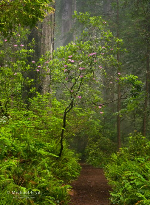 Rhododendrons over a trail through a redwood forest, Del Norte Coast Redwoods SP, CA, USA