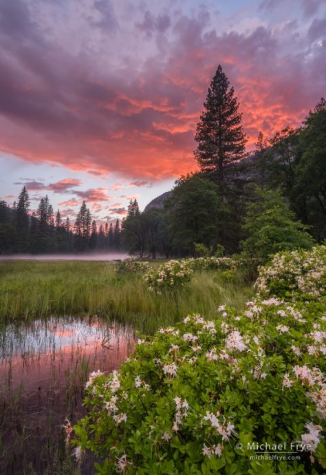 Azaleas in El Capitan Meadow at sunset, Yosemite NP, CA, USA