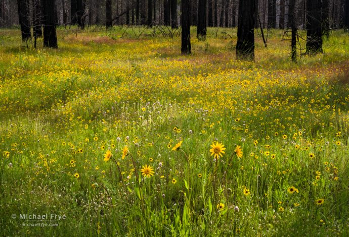 Wildflowers and forest burned by the Rim Fire, Stanislaus NF, CA, USA