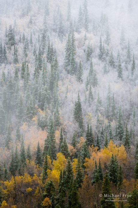 Colorado Autumn Color: Aspen and spruce trees, autumn, Pike-San Isabel NF, CO, USA