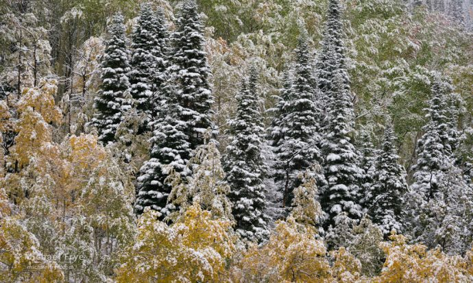 Spruce and aspens after an autumn snowstorm, Medicine Bow-Routt NF, CO, USA