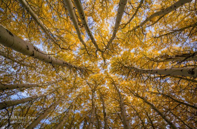 Aspens in autumn, Inyo NF, CA, USA