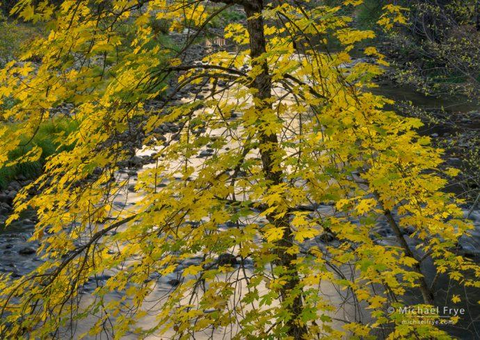 Big-leaf maple and the Merced River, autumn, Yosemite NP, CA, USA