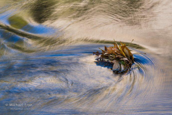 Big-leaf maple leaves in the Merced River, Yosemite NP, CA, USA
