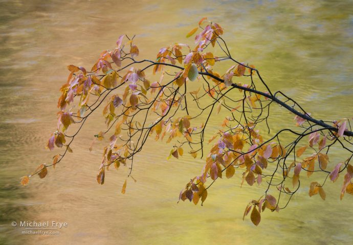 Dogwood branch over the Merced River, autumn, Yosemite NP, CA, USA