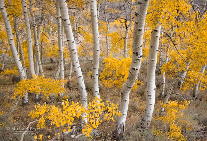 Late-October aspens near Silver Lake, June Lake Loop, Inyo NF, CA, USA