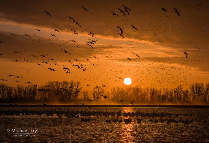 Ross's geese at sunrise, San Joaquin Valley, CA, USA